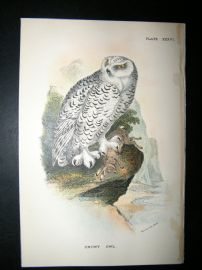 Allen 1890's Antique Bird Print. Snowy Owl